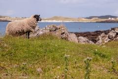 Sheep, Portuairk