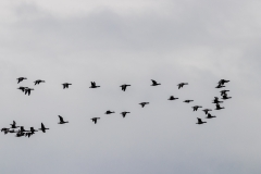 Ducks over Chichester Harbour