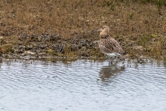 Curlew, Chichester Harbour