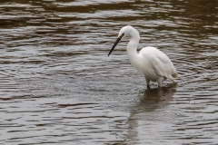 Little Egret, Chichester Harbour