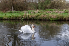River Itchen swans