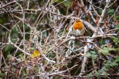 Robin, Lymington-Keyhaven Nature Reserve