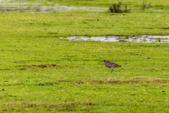 Curlew, Keyhaven Marshes