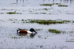 Shoveler feeding on Keyhaven Marshes