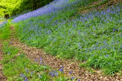 Bluebells, Llanthony Wood