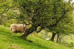 Peeking sheep