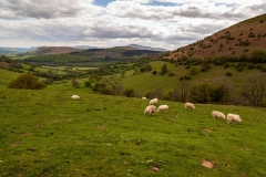 Sheep in the Black Mountains