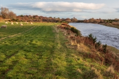 Sheep beside the River Brora