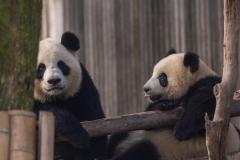 Giant Panda Breeding Research Base