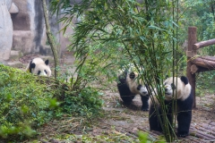 Giant Panda Breeding Research Base