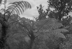 Coromandel Ferns