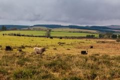 Dartmoor cows