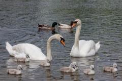 Swans on Slapton Ley