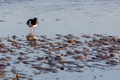 Oystercatcher, Mudeford Sandbank