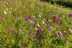 Close up of wild flower meadow at Ashmore Manor, Cranborne Chase