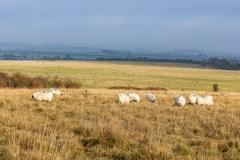 Sheep grazing on Martin Down, Hampshire