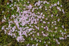 Lavafield flowers, Laufskálavarða