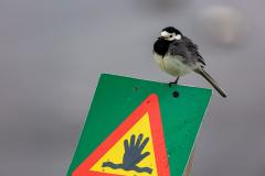 Wagtail posing on a sign beside Jökulsárlón