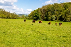 Grazing cows, Wye Valley
