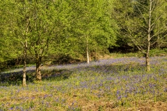 Bluebells at St. Briavels Common
