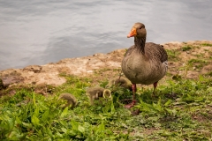 Greylag mother and chicks, Cannop Ponds