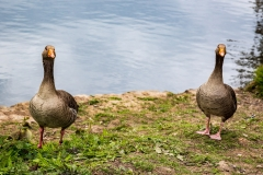 Greylag geese, Cannop Ponds