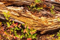 Rotting Pine