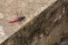 Yulong River dragonfly