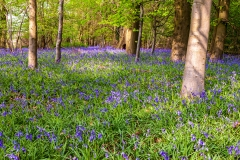 Early bluebells, Micheldever Woods