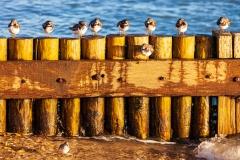 Calshot seagulls