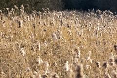 Reeds, Itchen Navigation