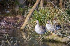 Greylag geese, Riverside Park