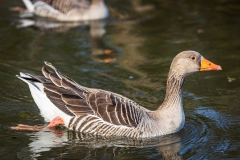 Geylag goose, River Itchen
