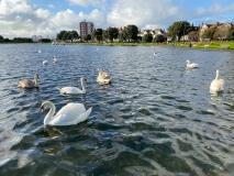 Swans on the Southsea Canoe Lake