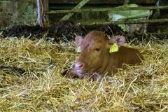 Test Valley calf