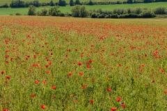 Field of poppies near Horsebridge
