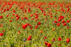 Field of poppies near Horsebridge