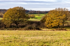 Oak trees in Autumn colours, Purbrook Heath