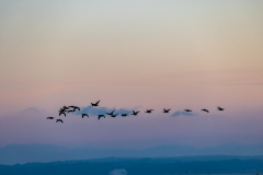 Geese above the Solent