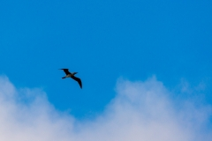 Sooty Shearwater in flight