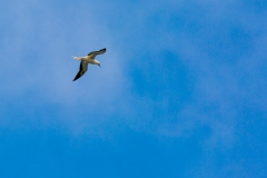 Red-footed booby in flight