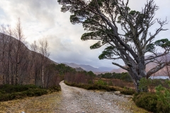 Caledonian pine