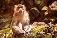 Batu Caves Monkey