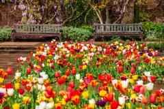 Holland Park tulips