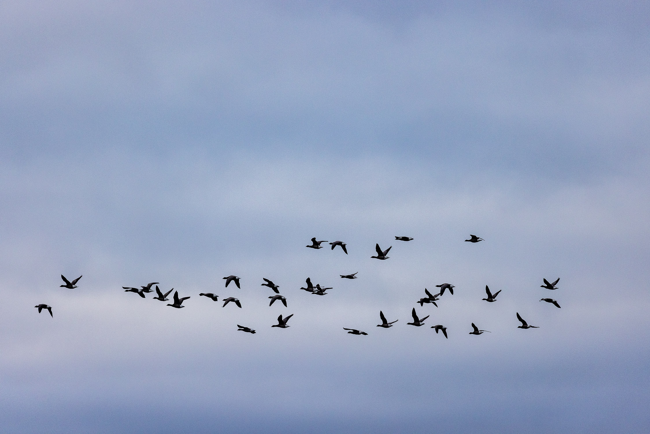 Geese in flight over Keyhaven Marshes