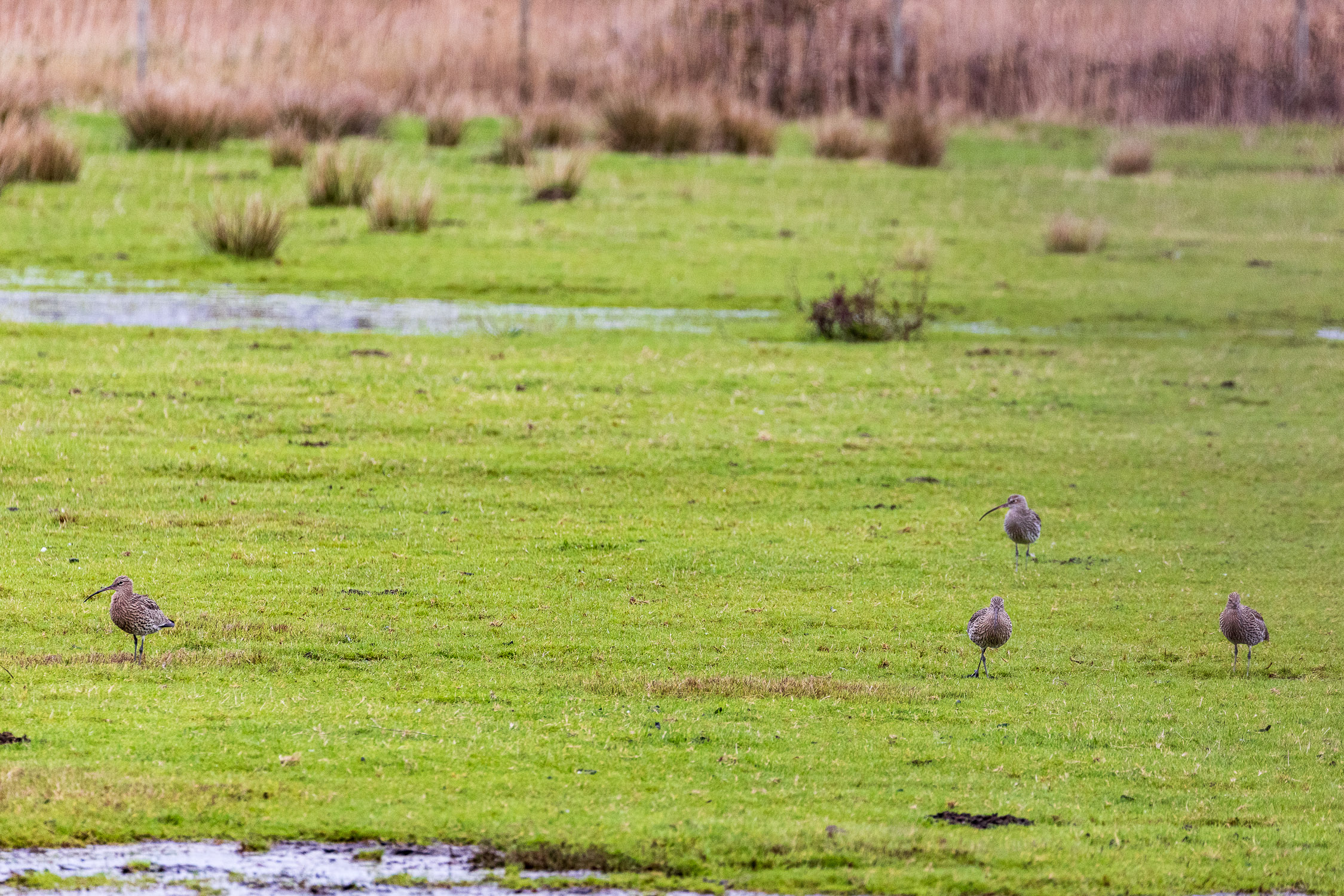 Four curlew, Keyhaven Marshes