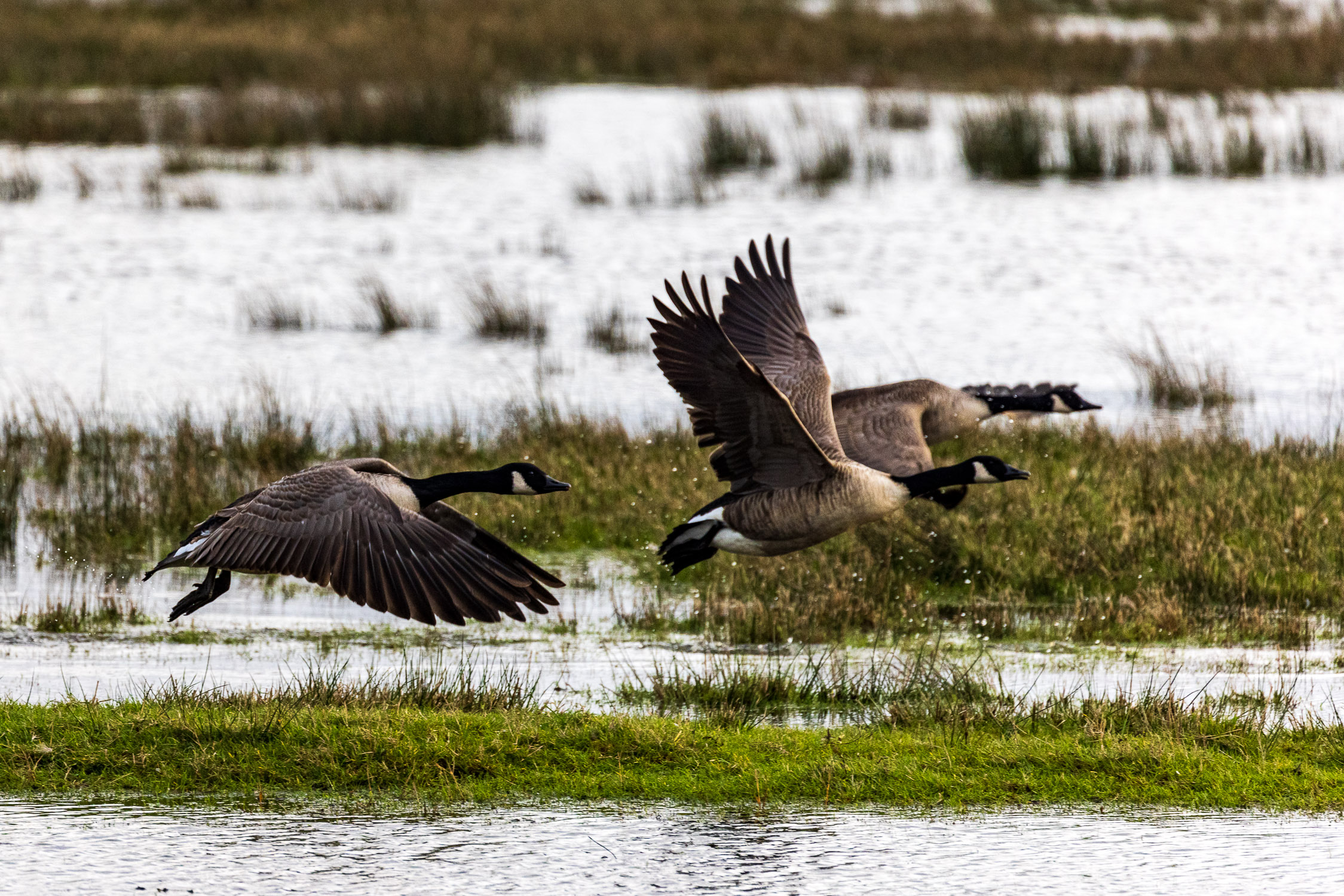 Canada geese in flight over Keyhaven Marshes