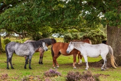 Ponies on Lodge Hill, New Forest