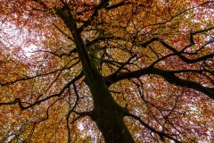Beech tree, New Forest