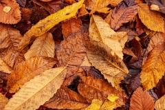 Fallen chestnut leaves, New Forest